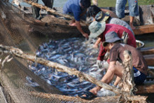 Harvest of the organic Pangasius.